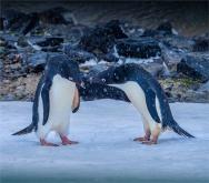 Paulet-Island-11272019-Antarctic-Peninsular-184