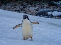 Paulet-Island-11272019-Antarctic-Peninsular-212