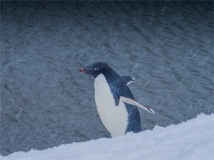 Paulet-Island-11272019-Antarctic-Peninsular-270