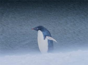 Paulet-Island-11272019-Antarctic-Peninsular-272