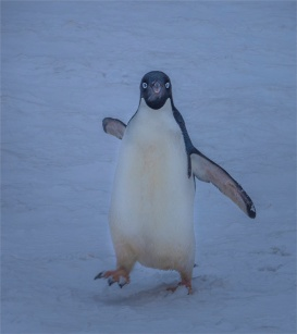 Paulet-Island-11272019-Antarctic-Peninsular-276