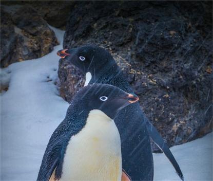 Paulet-Island-11272019-Antarctic-Peninsular-304