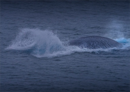 Surfacing-Blue-Whale-11242019-South-Georgia-Island-001