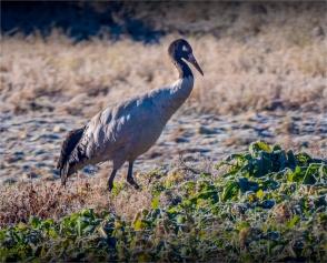 Black-Necked-Cranes-Gangtey-12102019-Bhutan-0011