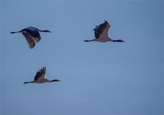 Black-Necked-Cranes-Gangtey-12102019-Bhutan-0049