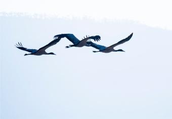 Black-Necked-Cranes-Gangtey-12102019-Bhutan-0091
