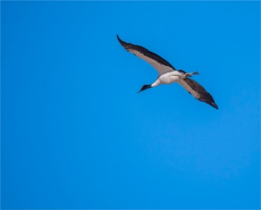 Black-Necked-Cranes-Gangtey-12102019-Bhutan-0101