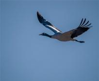 Black-Necked-Cranes-Gangtey-12102019-Bhutan-0178