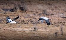 Black-Necked-Cranes-Gangtey-12102019-Bhutan-0384