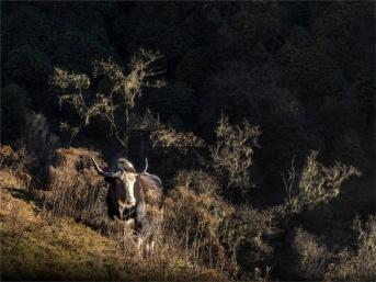 Yak-Gangtey-Valley-12082019-Bhutan-0013