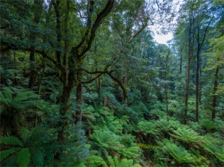 Otway-Ranges-Rainforest-2020-February-VIC-0561