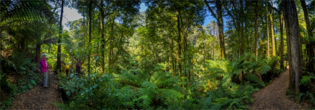 Otway-Ranges-Rainforest-2020-February-VIC-0565-Panorama