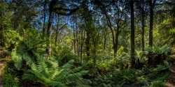 Otway-Ranges-Rainforest-2020-February-VIC-0579-Panorama