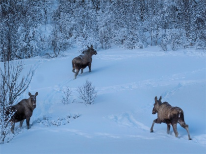 Moose-Skogsfjordvatnet-2020-Feb-Tromso-NOR-022
