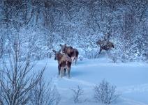Moose-Skogsfjordvatnet-2020-Feb-Tromso-NOR-031