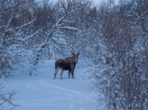 Moose-Skogsfjordvatnet-2020-Feb-Tromso-NOR-035