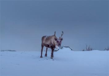 Reindeer-Skogsfjordvatnet-2020-Feb-Tromso-NOR-018