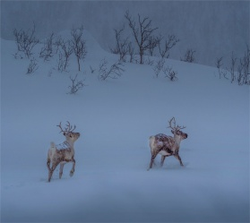 Reindeer-Skogsfjordvatnet-Snowing-2020-Feb-Tromso-NOR-002